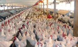 هشدار تشکلهای تولیدی به عواقب تصمیمهای اشتباه در صنعت مرغ