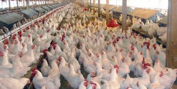 ضعف دولت در تامین نهاده دامی علت افزایش 50 درصدی قیمت مرغ