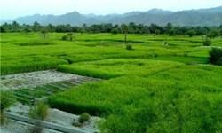 پیشبینی کشت مکانیزه برنج در 90 هزار هکتار از شالیزارهای مازندران