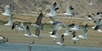 حوضچههای پرورش میگو تهدیدی برای تالاب پرندگان قشم