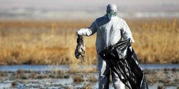 موردی از ویروس آنفلوانزای  پرندگان در مازندران گزارش نشد