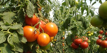 افتتاح ۲۷ واحد گلخانهای در همدان/ اشتغالزایی برای ۳۲۸ نفر