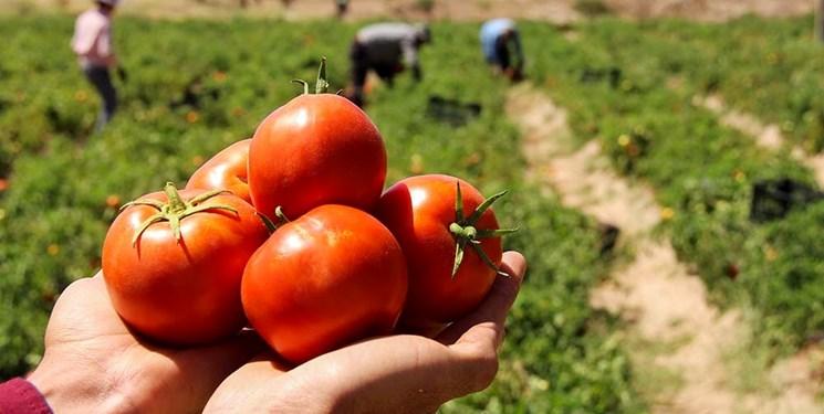 بیش از ۶۳ هزار تن گوجه در نهاوند برداشت میشود