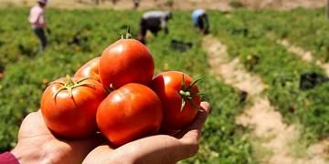 برداشت 250 هزار تن گوجه فرنگی از مزارع گلستان/ پای لنگ اقتصاد در تولید گوجهفرنگی