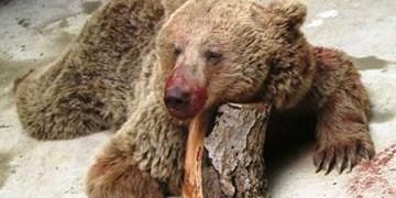 بازداشت عاملان زجرکش کردن خرس قهوه ای در ارومیه/۲ نفر تحت تعقیب هستند