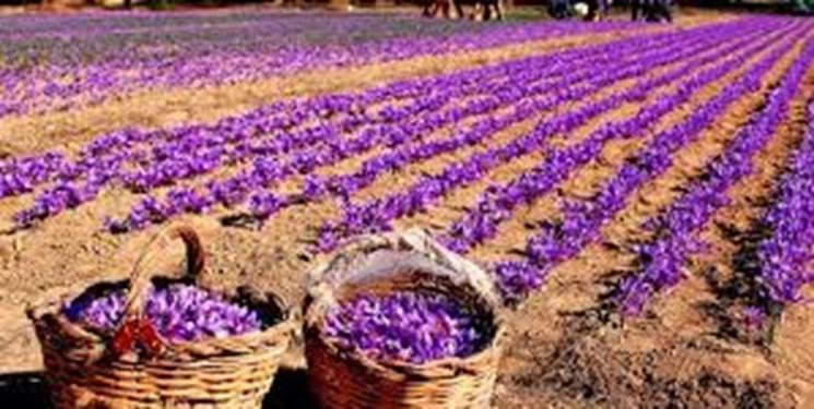 جنگ مافیا با کشاورزان زعفرانکار/ 10 میلیون تومان در هر  کیلو زعفران به جیب دلال می رود