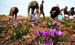 سالانه 1200 کیلوگرم زعفران در کرمانشاه تولید میشود/ برنامهریزی برای توسعه کشت طلای سرخ
