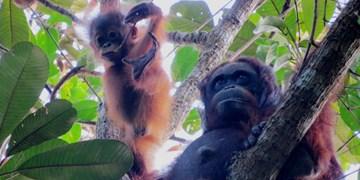 درک دقیق ارتباطات اورانگوتانهای وحشی برای نخستین بار