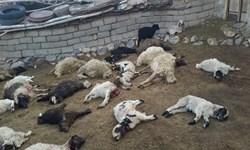 گرگها در زنجان ۶۰ راس گوسفند را دریدند