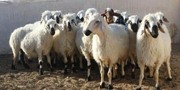 ام وی ام در مرند 21 گوسفند را کشت