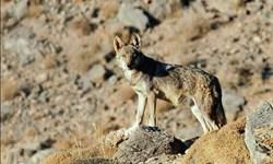 حمله گرگهای گرسنه به گله گوسفندان در اهر
