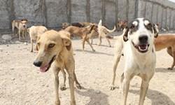 درمان سگهای ولگرد وضعیت بهتری پیدا میکند