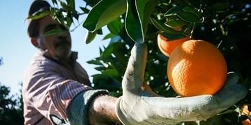 پیشبینی برداشت 132 هزار تن پرتقال در هرمزگان