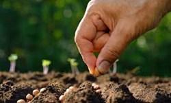 تولید بذرهای هیبریدی در مزرعه تحقیقاتی دانشگاه آزاد جیرفت