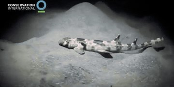 کشف کوسهای که کف دریا راه می رود