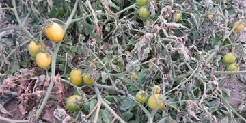 خسارت ۲۳۶ میلیاردی به کشاورزان فارس در پی سرمازدگی اخیر