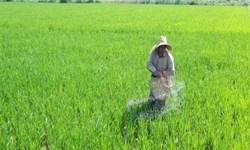 توصیههای به تولیدکنندگان برنج درباره مبارزه با بیماری بلاست برنج