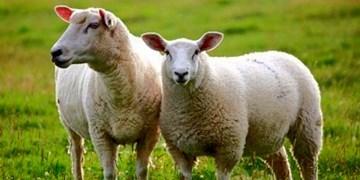 تولید نسل جدید گوسفند بومی در کرمانشاه/ صفات برتر نژاد سنجابی در گلههای عشایر توزیع میشود