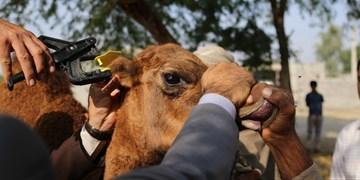 پلاک کوبی و احراز هویت ۱۹ هزار شتر در هرمزگان