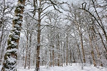 طبيعت برفي جنگل