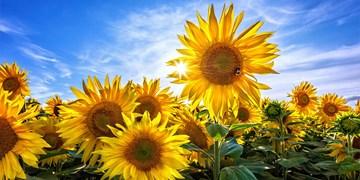 پیشبینی برداشت ۱۵۰ تن آفتابگردان از مزارع میناب