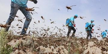 هجوم ملخها به زمینهای کشاورزی «پارسیان»