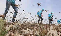تداوم عملیات کانون کوبی و مقابله با ملخ در اراضی و مراتع شهرستان اصلاندوز