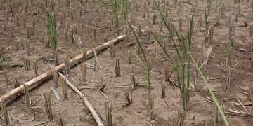 خسارت شدید به کشاورزی اندونزی با گرمایش زمین