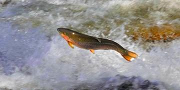 تولید سالانه بیش از ۵۰۰ تن ماهی در ملایر
