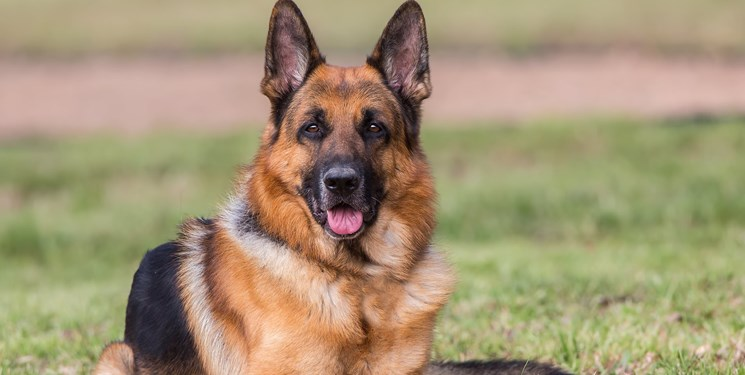 نتیجه آزمایش کرونای دومین سگ نیز مثبت شد