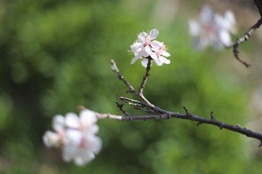 شکوفههای بهارانه در بجنورد