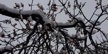 فیلم  شکوفه های بهاری زیر چتر سرمای برف در مناطقی از یزد