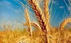 هر ایرانی در سال ۱۱۰ کیلوگرم نان می خورد/ ارزش اقتصادی گندم کشور ۳۵ هزار میلیار د تومان