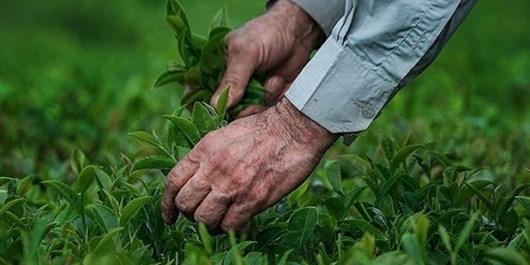 آغاز خرید تضمینی برگ سبز چای از اردیبهشتماه سال جاری