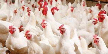 «مرغ» مازاد تولیدکنندگان هرمزگان خریداری میشود