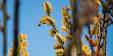رویش شکوفههای طلایی در بهار/ بیدمشک، اکسیر معجزهآسای طبیعت آذربایجان غربی