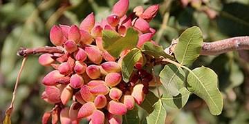 ظرفیت تولید ۲۰۰ تن محصول در یک باغ پسته دامغان