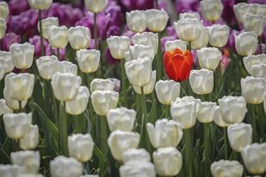 در بین کشورهای اسلامی لاله در فرهنگ دو کشور ایران و ترکیه نفوذ عمیقی دارد. در زبان ترکی نیز به این گل Lale می گویند /کرج