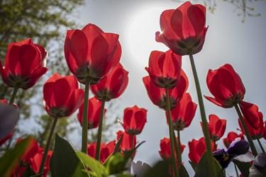 نام گل لاله از کلمه لال یا همان کلمه لعل از زبان سانسکریت به معنی «قرمز» گرفته شده است / کرج