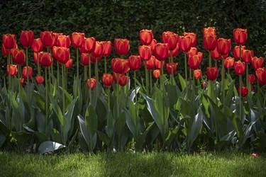 گل لاله سردهای از تیرهٔ سوسنیان است که در حدود ۱۰۰ تا ۱۵۰ گونه دارد.محل اصلی رویش لالهٔ خودرو در آسیای مرکزی است.