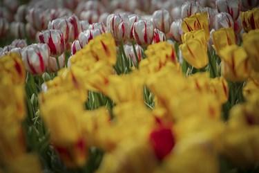 گل لاله از جمله گلهای دارای تنوع رنگ و شکل است. از این گل در سرتاسر جهان بیش از 160 گونه یافت شده است /کرج