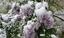 برف و سرما میهمان بهاری گیلانیان