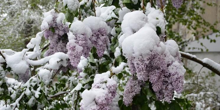 بارش برف بهاری «تاشکند» را سفید پوش کرد + تصاویر