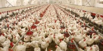 قیمت مرغ به 19 هزار تومان رسید/ تعیین قیمت مصوب 15 هزار و 750 تومانی برای کنترل بازار