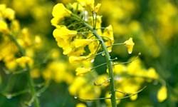 سهم گلستان از تولید 46 درصدی دانههای روغنی در کشور