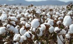 پیش بینی تولید بیش از ۸ هزار تن سویا و ۵۰ هزار تن پنبه در پارس آباد مغان