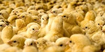 آذربایجانغربی رتبه سوم تولید جوجه یکروزه را دارد