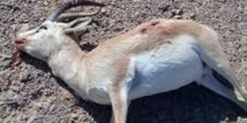 واکنش محیط زیست به فیلم  لاشه یک رأس بز وحشی در منطقه حفاظت شده ارسباران