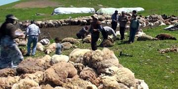 آغاز پشمچینی گوسفندان در اصلاندوز مغان/ پیشبینی تولید ۴۰۰ تن پشم