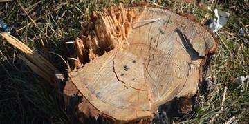 تراژدی قطع درختان برای تعریض خیابانهای بندرگز/ ترس از برگشت اعتبار، نفس سبزقامتان را برید